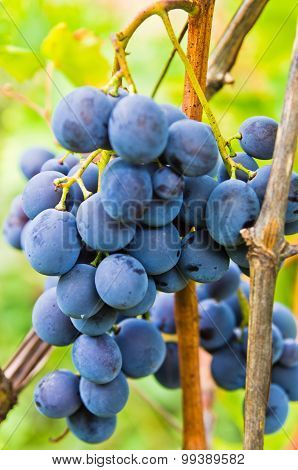 Closeup of a red grapes on a vine at vineyard