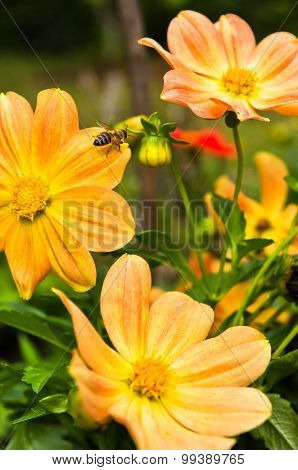 A Bee is moving from flower to flower while collecting pollen