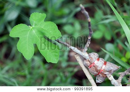 Air Layering Figs
