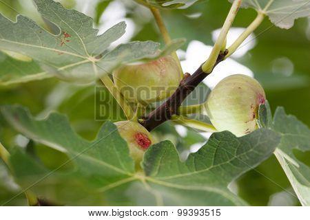 Green Figs Tree