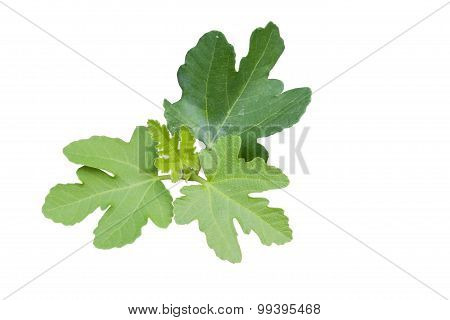 Figs Tree Isolated