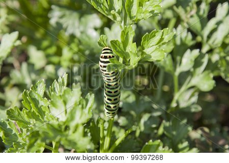 Green larva of butterfly