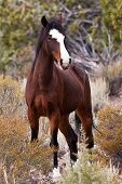 stock photo of wild horses  - Wild Open Range Horse In Nevada Desert - JPG