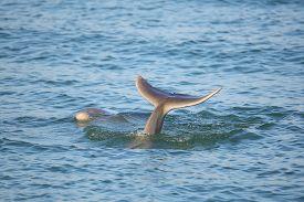 foto of bottlenose dolphin  - Tail of diving Common bottlenose dolphin near Sanibel island in Florida - JPG