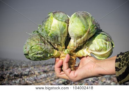 Cabbage In A Hand
