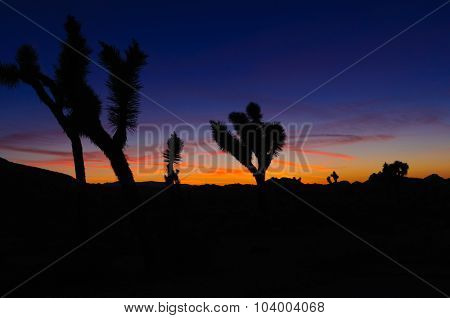 Sunset in the Joshua National forest with silhouettes of the joshua trees