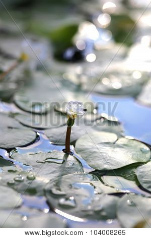 Aquatic plant, flower of Hydrocharitaceae