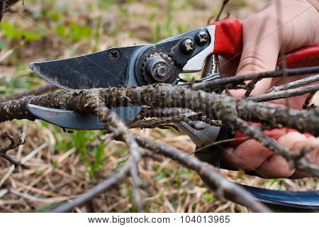 Pruning Black Current By Garden Pruner