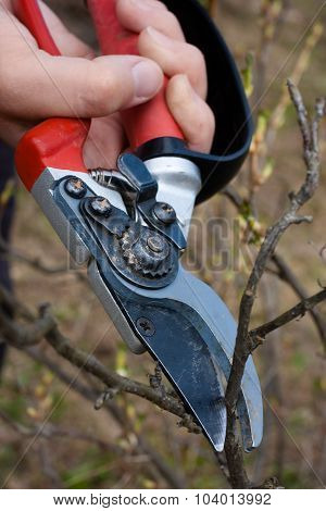 Pruning Black Current By Secateurs
