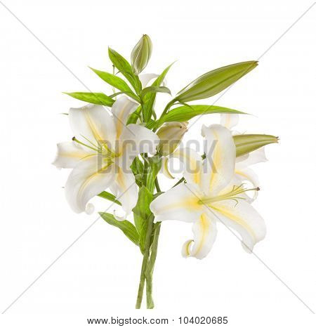 White lilies ' bunch isolated   on a white background