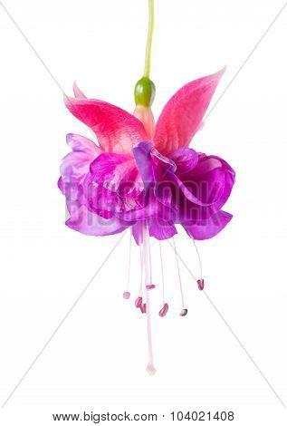 Blooming Beautiful Single Flower Of Lilac And Pink Fuchsia Is Isolated On White Background, `kathy's