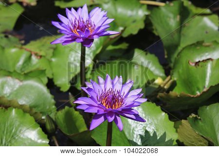 Water Lily and green leaves