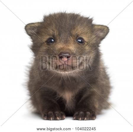 Fox cub (4 weeks old) sitting in front of a white background