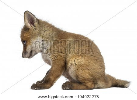 Fox cub (7 weeks old) sitting in front of a white background