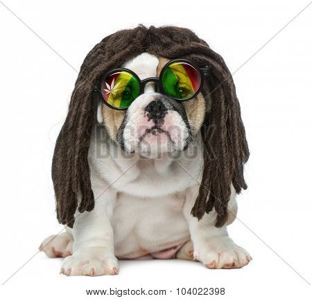 English bulldog puppy wearing a dreadlocks wig and glasses in front of white background
