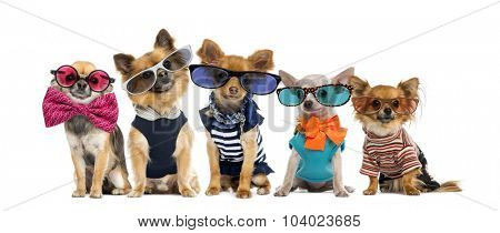 Group of Chihuahuas dressed, wearing glasses and bow ties
