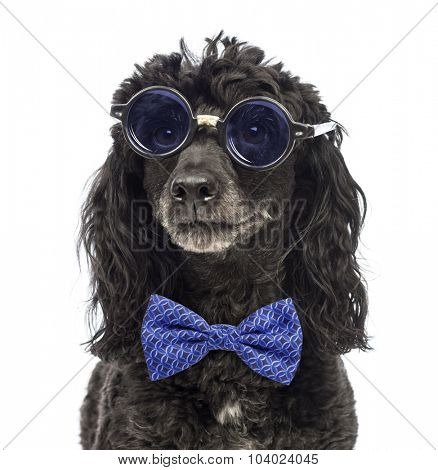 Close-up of a Poodle wearing glasses and a bow tie in front of white background