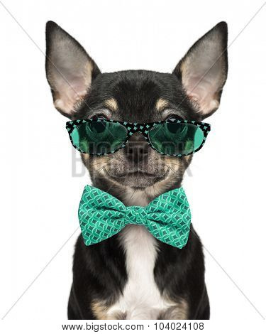 Close-up of a Chihuahua puppy wearing glasses and a bow tie isolated on white