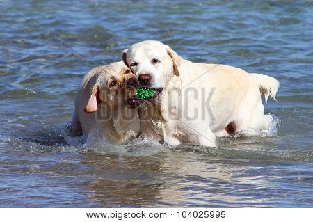 Two Yellow Labradors Playing In The Sea