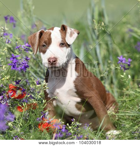 Amazing Puppy Of American Pit Bull Terrier In Flowers