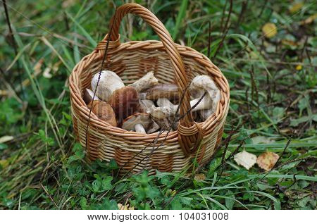 Mushrooms in the autumn forest in september