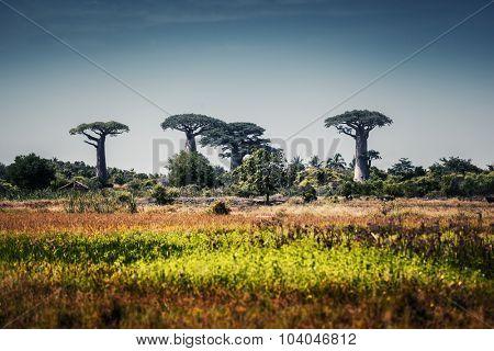 Baobab trees at sunny day. Madagascar