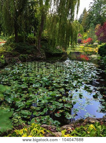 In pond, overgrown with lilies, reflected trees. Delightful landscaped and floral park Butchart Gardens on Vancouver Island