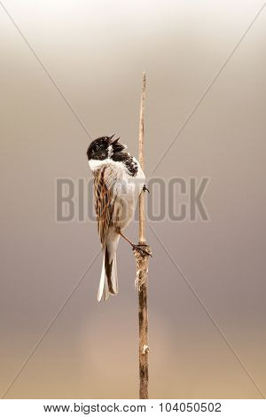 The Song Of A Common Reed Bunting