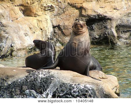 Sea lion and calf