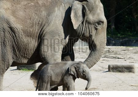 Mother elephant with its baby