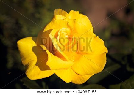Yellow rose impression