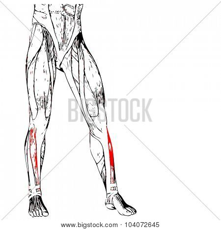 Concept or conceptual 3D adductor longus human upper leg anatomy or anatomical and muscle isolated on white background
