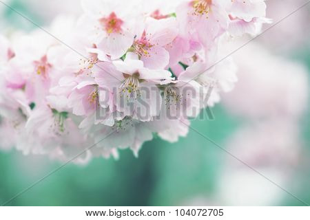 Cherry blossom in muted dreamy tone. Intentionally shot in retro tone. Shallow depth of field.