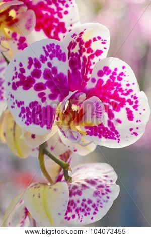 Detail of beautiful white orchid with pink splats