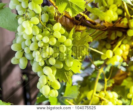 Ripe white grapes on the vine. Green sunny leaves on the background.