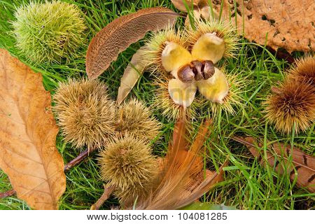 Autumn chestnuts, feathers and leaves on a patch of grass