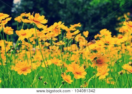 Beautiful cosmos flowers in the field with sunlight