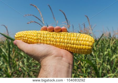 golden color maize in hand over field