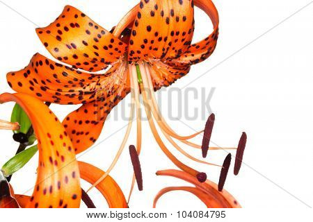 red tiger lily isolated on white background