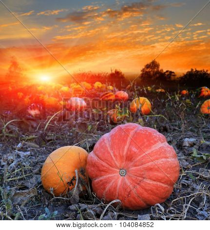 pumpkins on agricultural field against sunset sky