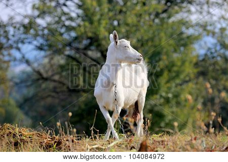 Rural white goat on pasture