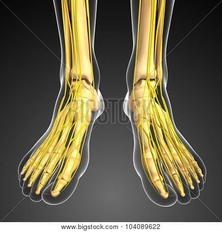 Nervous System And Foot Skeleton Artwork