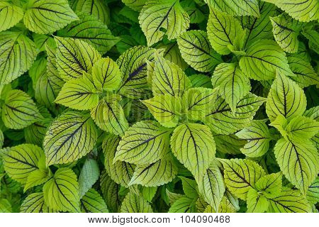 Lime Green Coleus
