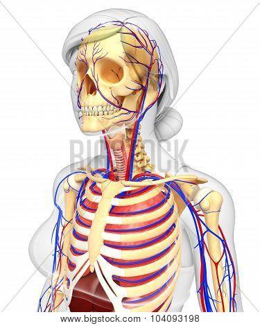 Female Skeletal And Circulatory System