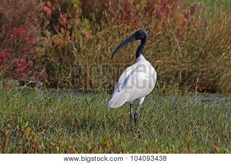 Black-headed Ibis Threskiornis Melanocephalus