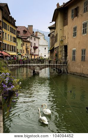 Swans in canal in Annecy in France.  Also named