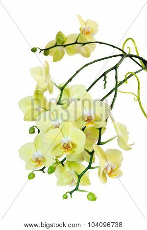 Yellow  Blossoming Orchid