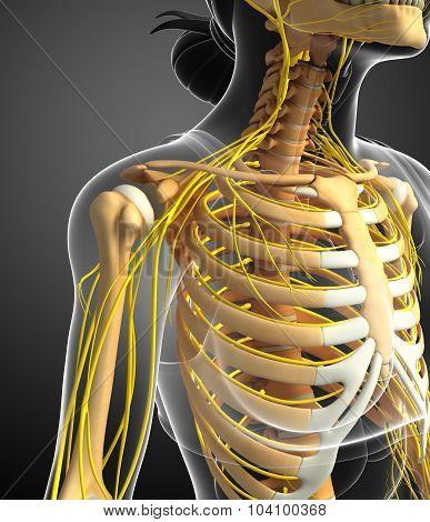 Nervous System And Female Ribcage Artwork