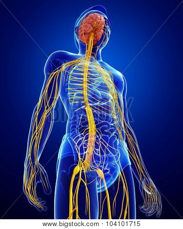 Male Nervous System Artwork
