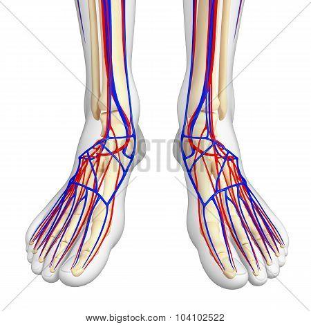 Human Foot Circulatory System
